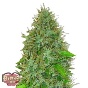 Heavyweight Seeds Auto 2 Fast 2 Vast female Seeds