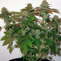 Barney's Farm 8 Ball Kush female Seeds