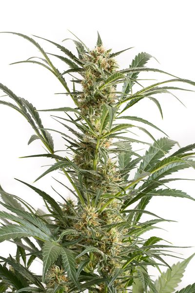 Dinafem Blue Amnesia XXL Auto female Seeds