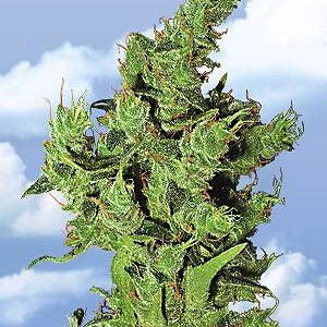 Flying Dutchmen Amsterdam Mist female Seeds