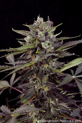 Dutch Passion Auto Blueberry Auto-Flowering female seeds