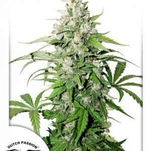 Dutch Passion Auto Cinderella Jack female Seeds