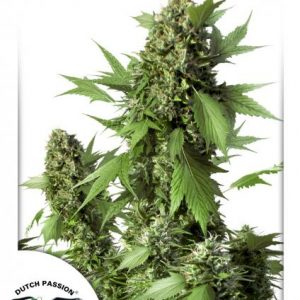Dutch Passion Auto Duck female Seeds