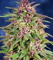 Dutch Passion Frisian Dew Auto-flowering female Seeds