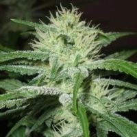 Female seeds company Auto Speed Bud female Seeds