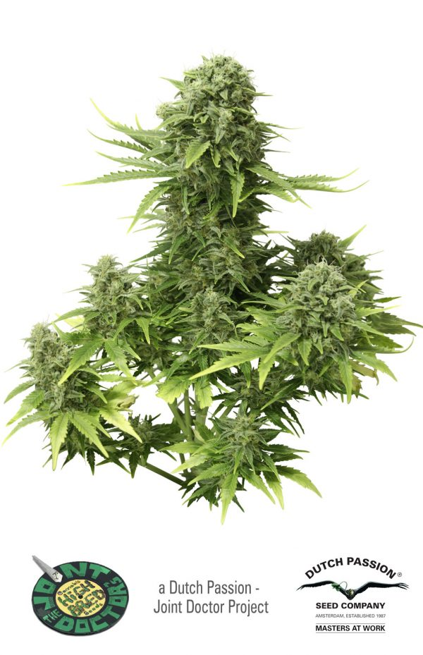 Dutch Passion StarRyder Auto-flowering female Seeds