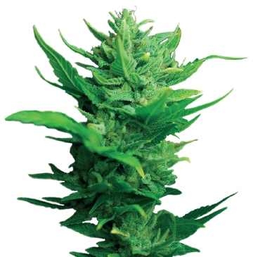 Dutch Passion Think Different Auto-flowering female Seeds