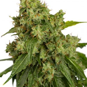 Dutch Passion AutoXtreme Auto-flowering female Seeds
