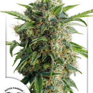 Dutch Passion Auto Daiquiri Lime female seeds