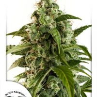 Dutch Passion Auto Euforia female Seeds