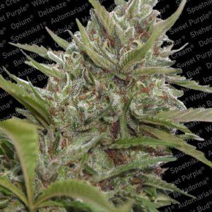 Paradise Seeds Auto Whiteberry