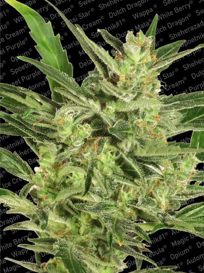 Paradise Seeds Automaria II