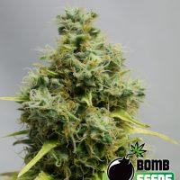 Bomb Seeds Big Bomb