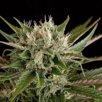 Dinafem Blue Cheese female Seeds