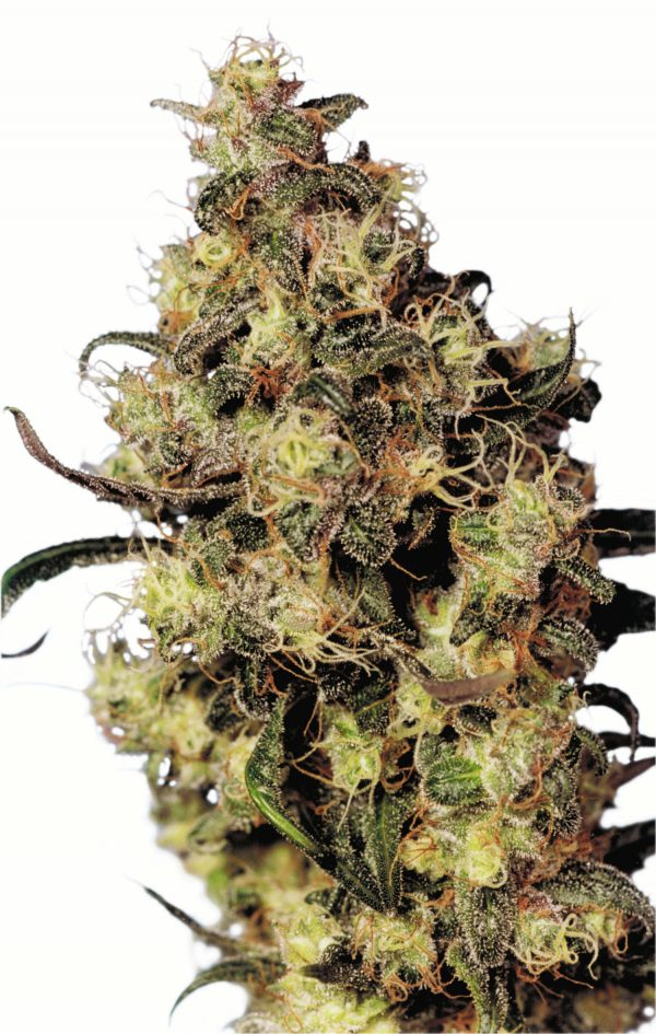 Dutch Passion Blue Velvet female Seeds
