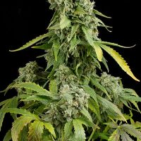 Dinafem Blue Cheese Auto female Seeds