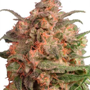 Dutch Passion Master Kush female Seeds