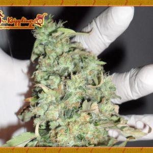 Dr Krippling Seeds Buzz Light Gear