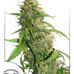 Dutch Passion CBD Auto Compassion Lime female seeds
