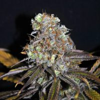 CBD Crew CBD Critical Mass female