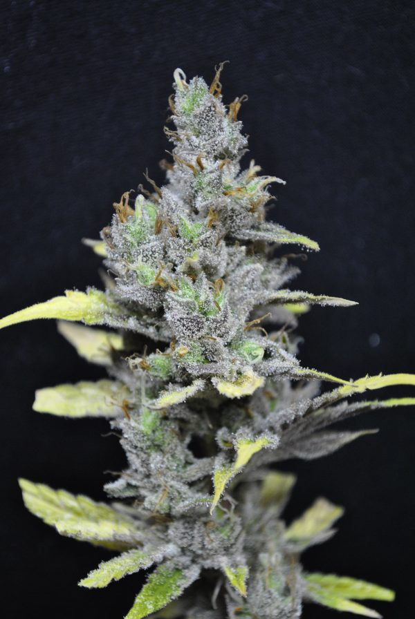 CBD Crew CBD Medi Haze female Seeds
