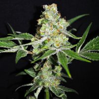 CBD Crew CBD Outdoor Mix female seeds