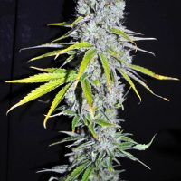 CBD Crew CBD Skunk Haze female seeds
