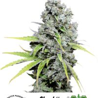 Dutch Passion CBD Skunk Haze female Seeds