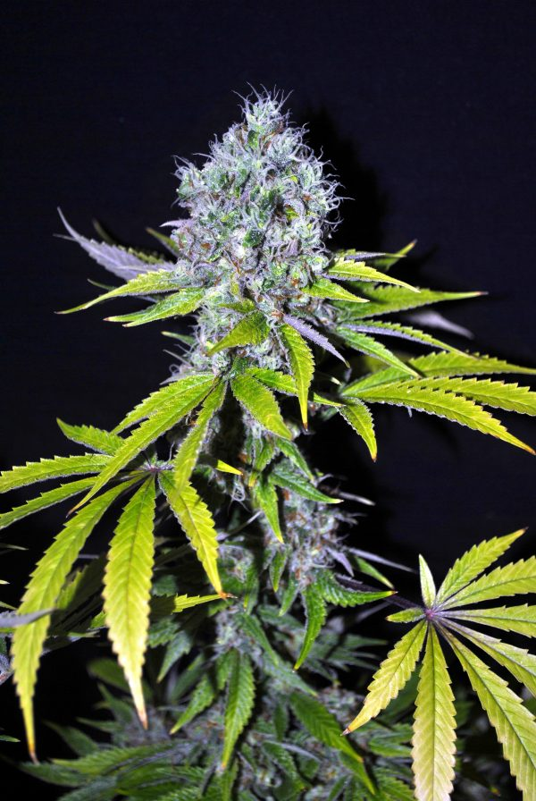 CBD Crew CBD Yummy female seeds