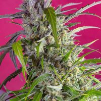 Sweet Seeds Crystal Candy Auto female
