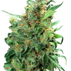 Dutch Passion Californian Orange female Seeds