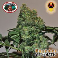 Big Buddha Seeds Chiesel AUTO female Seeds