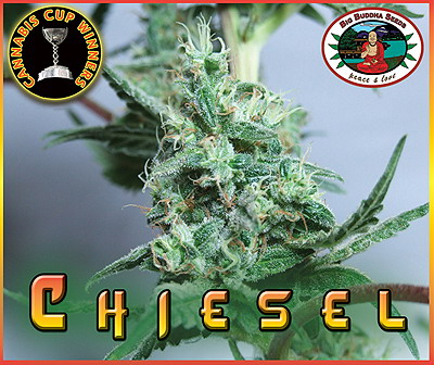 Big Buddha Seeds Chiesel female Seeds