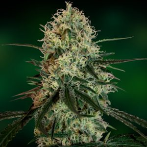 Barney's Farm Chronic Thunder female Seeds