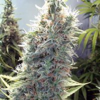 Female seeds company Cinderella 99