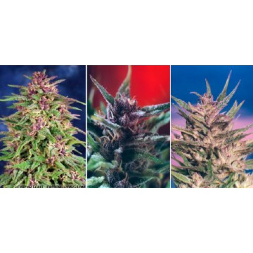 Dutch Passion Colour Mix 1 - 6 female Seeds