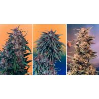 Dutch Passion Colour Mix 2 - 6 female Seeds