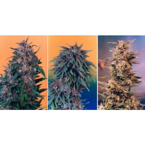 Dutch Passion Colour Mix 2 - 6 female Seeds