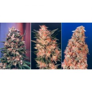 Dutch Passion Colour Mix 3 - 6 female Seeds