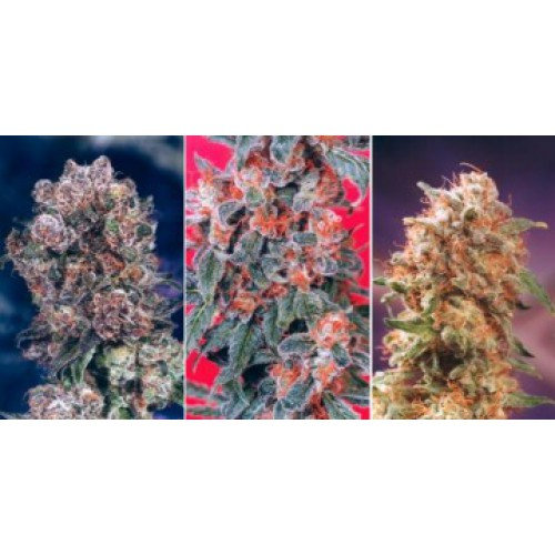 Dutch Passion Colour Mix 4 - 6 female Seeds