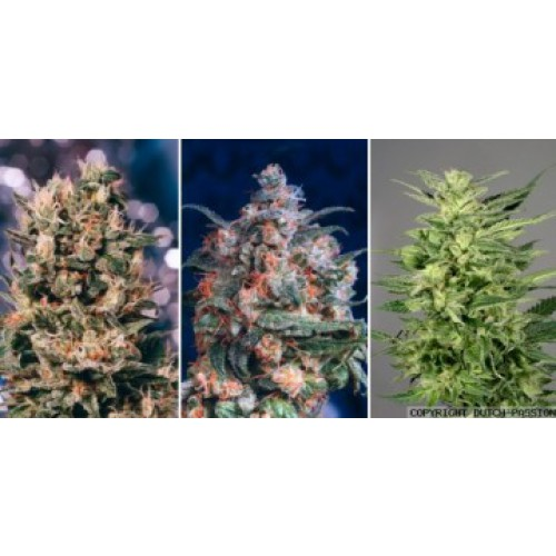 Dutch Passion Colour Mix 5 - 6 female Seeds