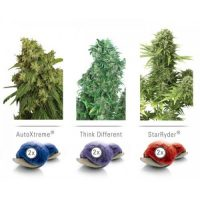 Dutch Passion Colour Mix 7 ' Autoflowering female Seeds