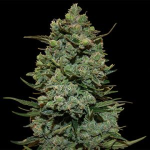 Barney's Farm Cookies Kush female Seeds