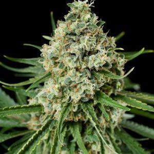 Dinafem Critical+ 2.0 female Seeds