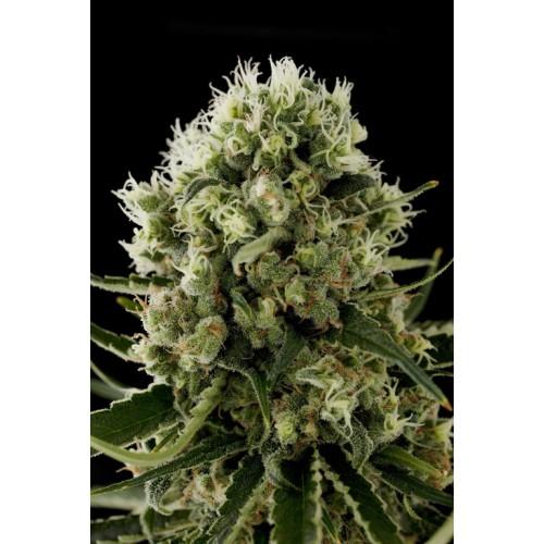 Dinafem Critical Jack female Seeds