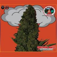 Big Buddha Seeds Critical Mass Auto female Seeds