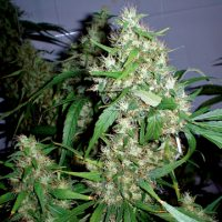Barney's Farm Critical Rapido Auto female Seeds
