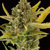 Dinafem Critical Cheese Auto female Seeds