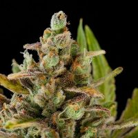 Barney's Farm Critical Kush female Seeds