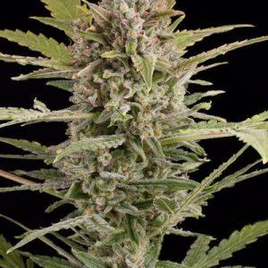 Dinafem Critical + 2.0 Auto female Seeds